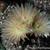 Eriosyce crispa v. huascensis FK 74 (Huasco)