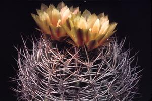 Eriosyce curvispina 'odoriflora' FK 319 (W. Tilama, Chile)