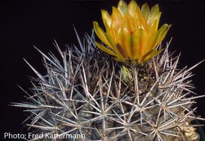 Eriosyce limariensis FK 13 (Tanque las Palomas)