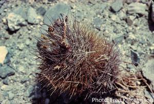 Eriosyce taltalensis 'pulchellus' FK 771 (Obispo, 15 m)