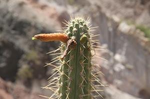 Cleistocactus morawetzianus RH 4955a (Vina Chiquita, Ayacucho, 2600m, Peru)
