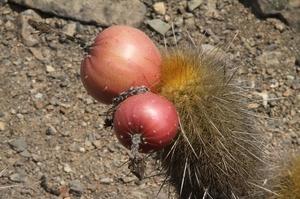 Haageocereus pseudomelanostele ssp. acanthocladus RH 5002 (Gramadal, Ancash, 300m, Peru)