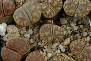 Lithops bromfieldii PV 980 (East of Upington)