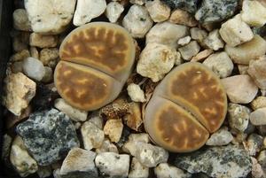 Lithops karasmontana v. lericheana C 267