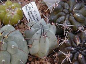 Lobivia jajoiana v. paucicostata WR 217 (Purmamarca, Arg)