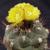 Weingartia kargliana  SE 160 (NE Cieneguillas, Bol)