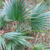 Sabal minor 'Cherokee'