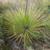 Agave striata ssp. falcata