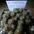 Weingartia pygmaea BLMT 863.03 (W Tacamayu, Chuquisaca,  3520m, Bol)