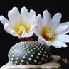 Blossfeldia liliputana fma HTH 177 C (Rio Icla - Tarabuco, Bolivia)