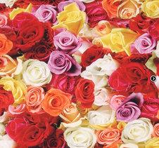 Rosor - blandade färger