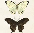 Juliste Perhoset 18 * 24 cm