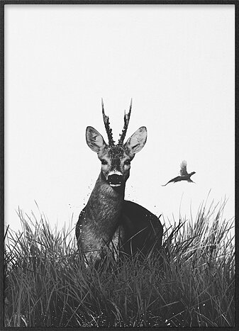 Roebuck in grass