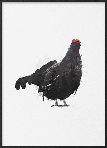 Magnificent black grouse