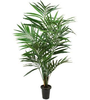Kentia Palm höjd 180cm