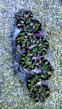 Tridacna maxima Green