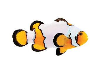 Amphirion ocellaris Snowflake (reef safe)