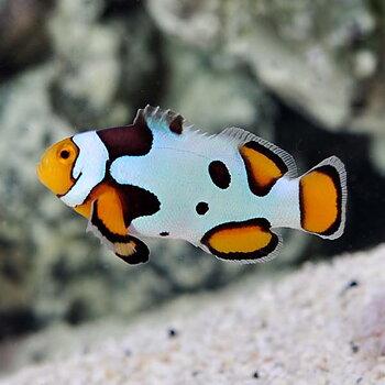 Amphirion ocellaris Picasso (reef safe)