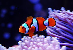 Amphiprion percula red (reef safe)