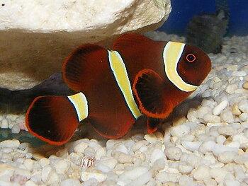 Premnas biaculeatus yellow striped (reef safe)