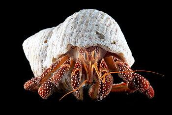 Dardanus sp Hermit crab XL