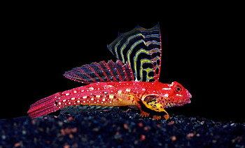 Synchiropus sycorax  (reef safe)