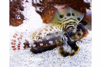 Synchiropus ocellatus  (reef safe)