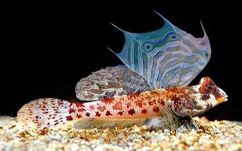 Synchiropus stellatus  (reef safe)