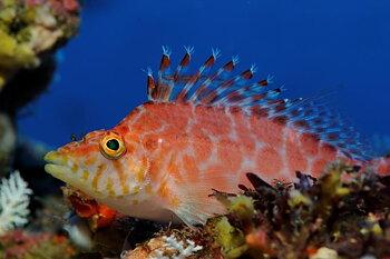 Cirrhitichthys guichenoti (reef safe)