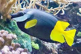 Siganus uspi (reef safe)