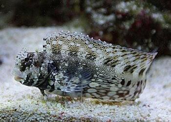 Salarias fasciatus (reef safe)