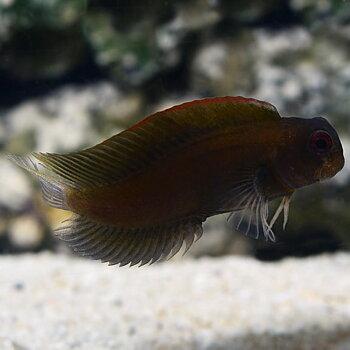 Atrosalarias fuscus (reef safe)