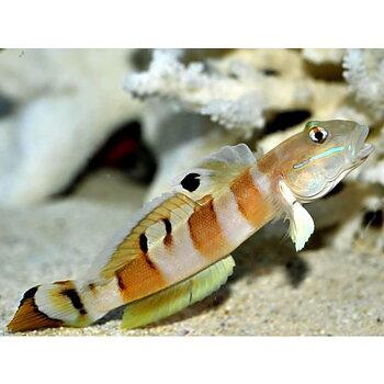 Valenciennea wardii (reef safe)
