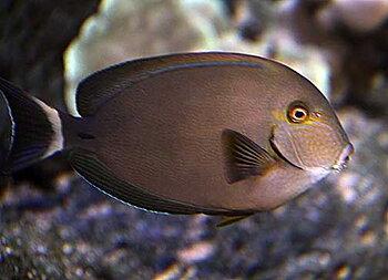 Acanthurus blochii (reef safe)