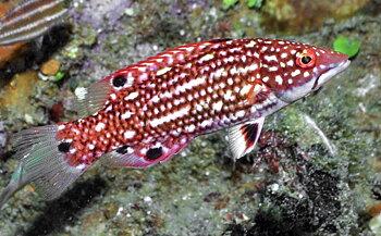 Bodianus diana (reef safe)