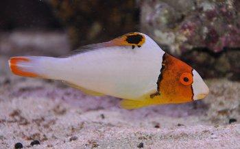 cetoscarus bicolor (reef safe)