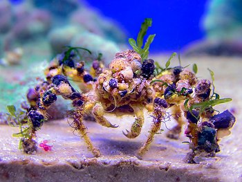 composcia retusa (reef safe)