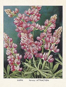 Sköna Ting - poster 18x24 - Lupin