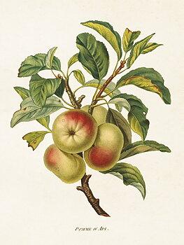 Sköna Ting - poster 18x24 - Äpplen