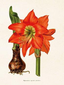 Sköna Ting - poster 18x24 - Röd amaryllis