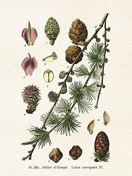 Sköna Ting - poster växter insekter vintage 18x24 Lärk kotte