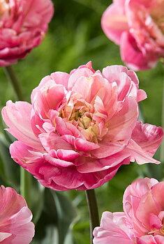 "Double Late Tulips  ""Libretto Double"" (Säljes styckvis)"
