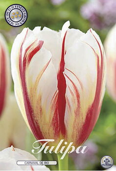 "Triumph Tulips   ""Carnaval de Rio"""