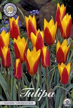 "Botanical Tulips   ""Chry Tubergens Gem"""