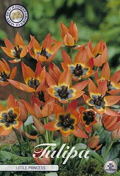 "Botanical Tulips   ""Little Princess"""