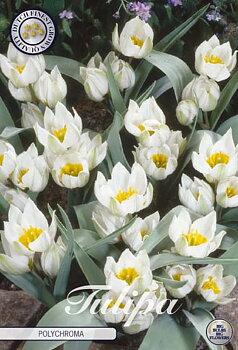 """Botanical Tulips   """"Polychroma"""""""
