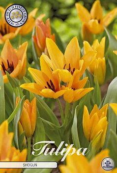 "Botanical Tulips   ""Praestans Shogun"" (new)"