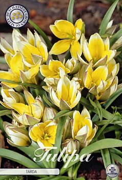 "Botanical Tulips   ""Tarda"""