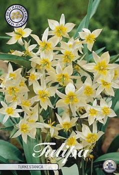 "Botanical Tulips   ""Turkestanica"""