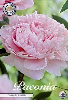 """Paeonia """"Sarah Bernhardt"""""""